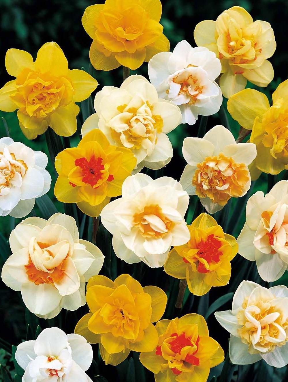 Купить луковицы цветов в украине дешево
