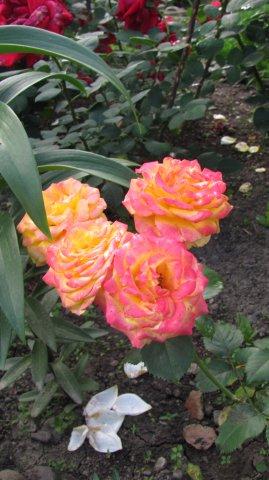крымское солнышко роза фото идея для